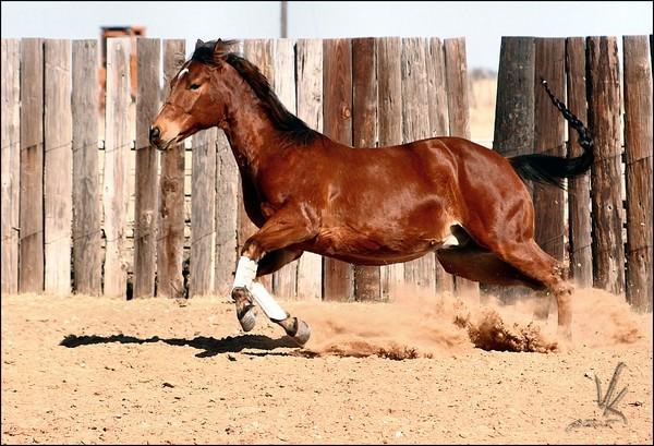 Quarter Horse in Motion (Teil2)