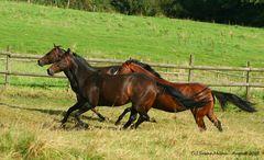 Quarter Horse-Wettrennen