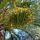 Queen palm fruit