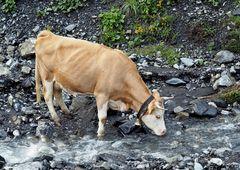 Quel plaisir d'étancher sa soif!   Die durstige Schweizer Kuh!