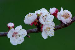 quelques fleurs de mon abricotier pour un bon week end :)))