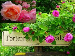 ..Quelques roses anciennes à Yèvres le Châtel (45)