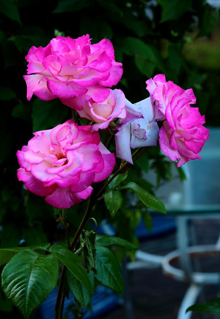 quelques roses pour ce dimanche