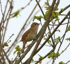 Quelqu'un peut-il m'identifier cet oiseau qui chante très fort et se planque très bien ...?