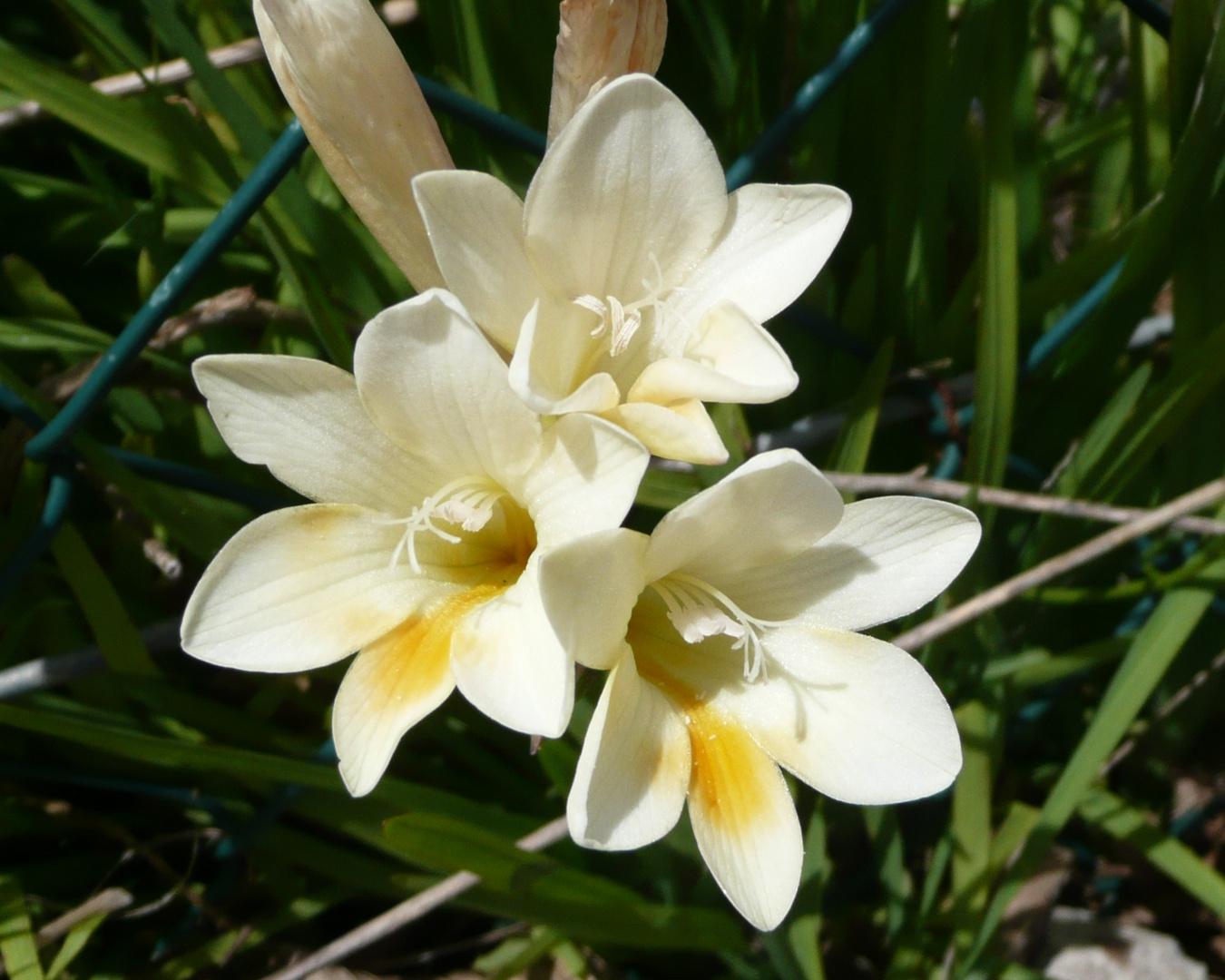 Querida Monica: Saludos de la Primavera con Fresias