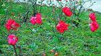 Queste rose d'inverno sono dedicate a chi ce l'ha fatta alla grande!