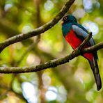 Quetzal-Familie