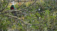 quetzal / resplendent quetzal / pharomachrus mocinno (36 cm)