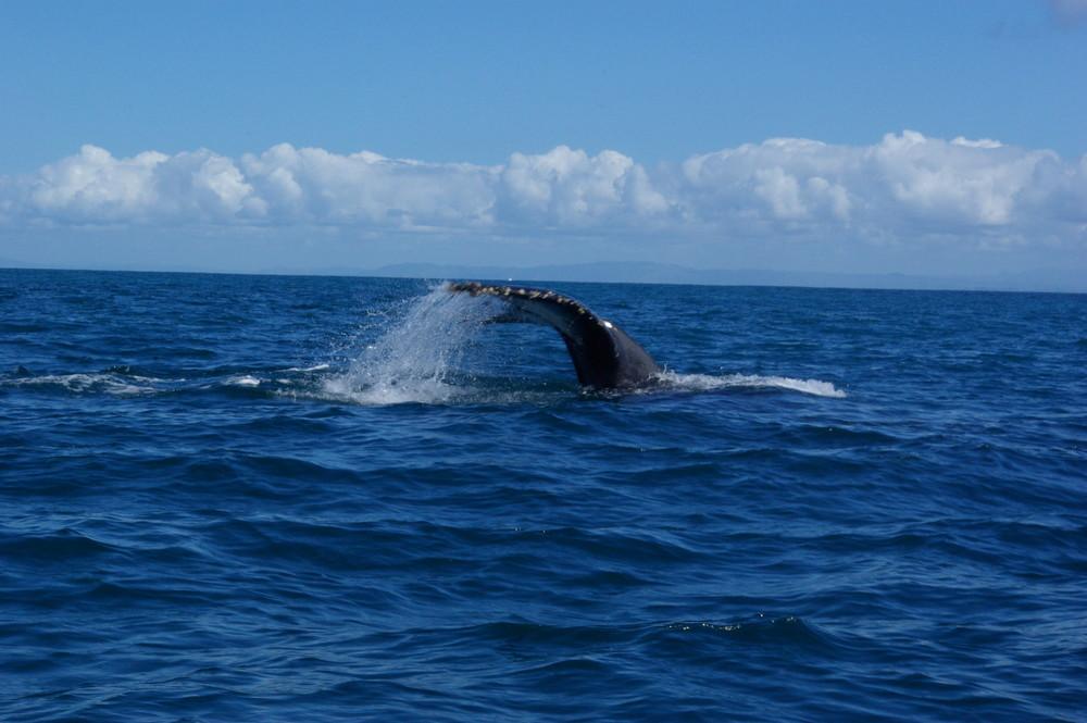 Queu de baleine