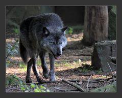 Qui a peur du grand méchant loup ?