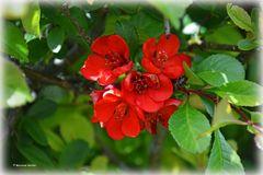 Quittenblüte zum Mutter- und Omatag
