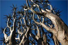 Quiver Tree / Köcher Baum