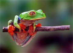 = R = Rotaugenlaubfrosch Costa Rica
