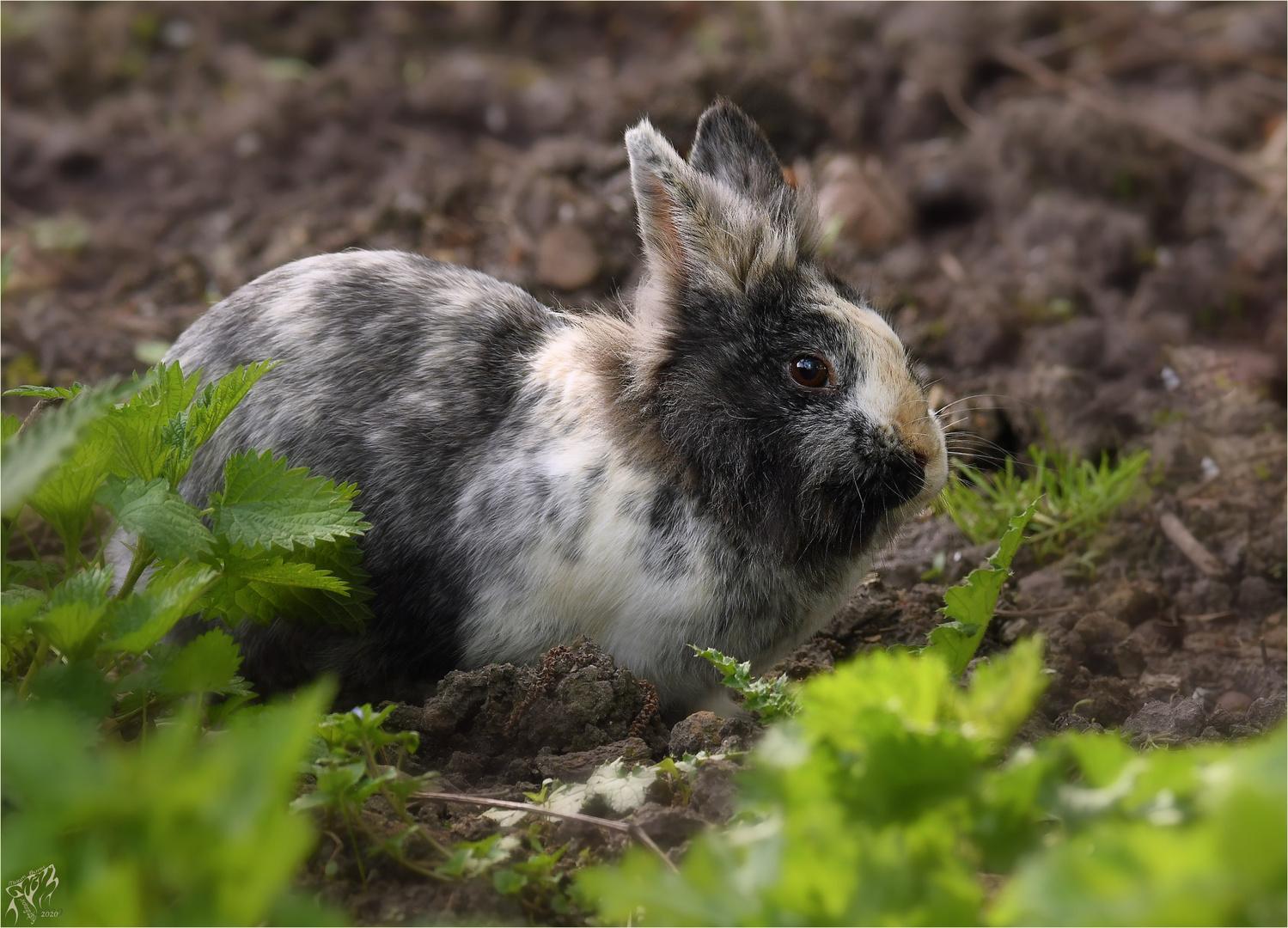 Rabbit in the wild ..