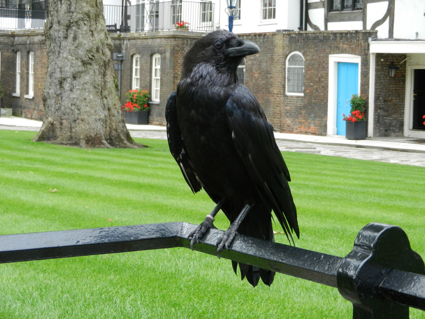 Rabe im Tower of London