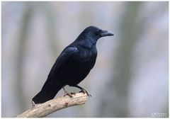 -- Rabenkrähe -- ( Corvus corone )