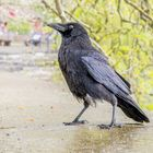 Rabenkrähe (Corvus corone) auf der Insel Mainau, Bodensee