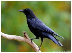 - Rabenkrähe - ( Corvus corone carone )