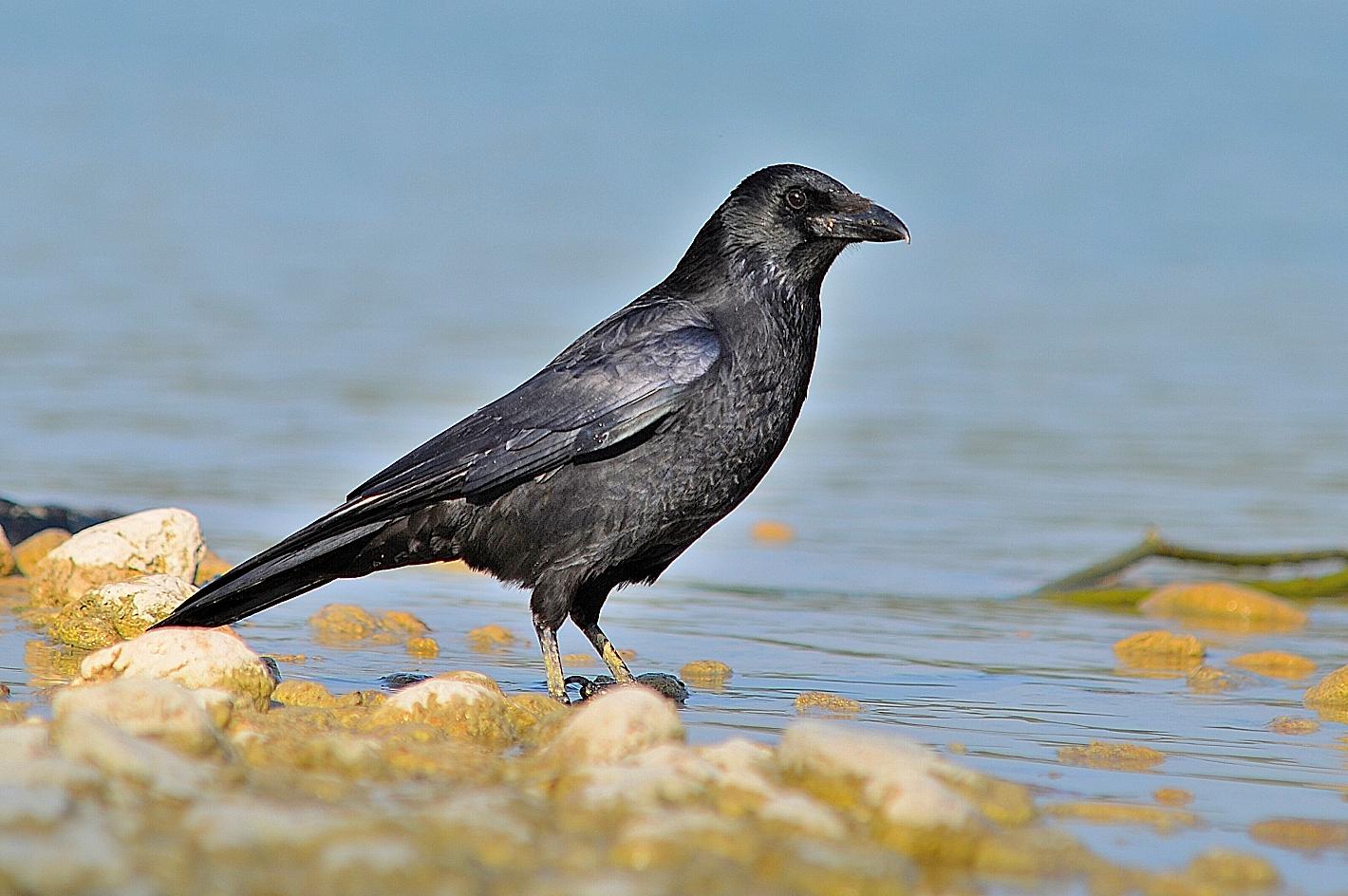 Rabenkrähe (Corvus corone), Carrion crow, Corneja negra