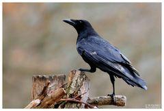 - Rabenkrähe - (Corvus corone corone )