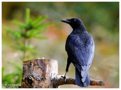 - Rabenkrähe - ( Corvuscorone corone )
