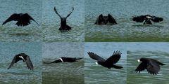 Rabenkrähe fängt Fisch im Flug