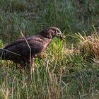 Rabenmahlzeit eines Greifvogels