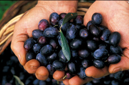 Raccolta delle olive - Sardegna