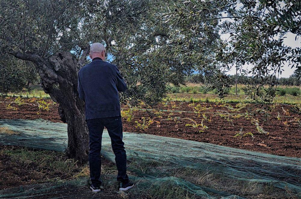 Raccolta olive Foto % Immagini| europe, italy, vatican ...