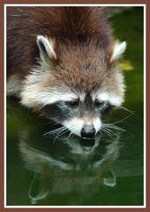 Raccoon ...