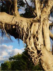 Racines aériennes d'un banian blanc  à  Noumé