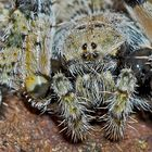 Radnetzspinne: Portrait von Araneus circe.* - Un portrait... (photo 2)