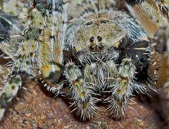 Radnetzspinne: Portrait von Araneus circe.* - Un portrait... (photo 2)