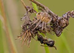Radnetzspinnen ..