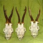 RÄTSEL : Welcher meiner drei Böcke aus Ungarn vom 28./29./30.7.2012 ist der älteste?