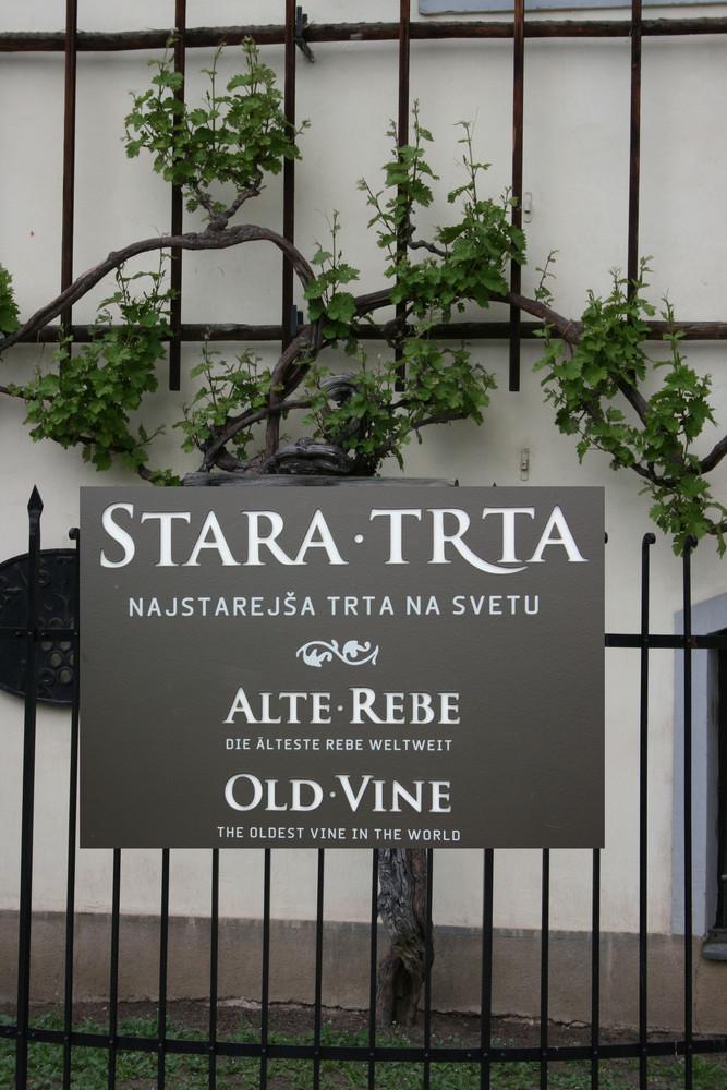 Rätselfrage: Wo steht die älteste Weinrebe der Welt