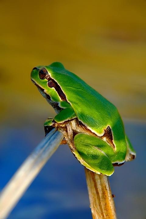 Raganella verde
