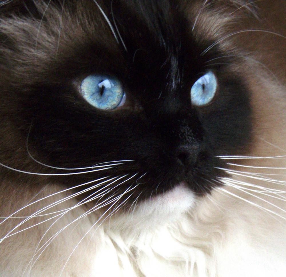 Ragdoll, Blue Eyes!