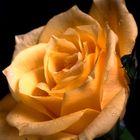 Ragged yellow rose