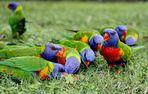 Rainbow Lorikeets. Australia. East Coast. 2010.