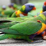 Rainbow Lorikeets(2). Australia. East Coast. 2010.