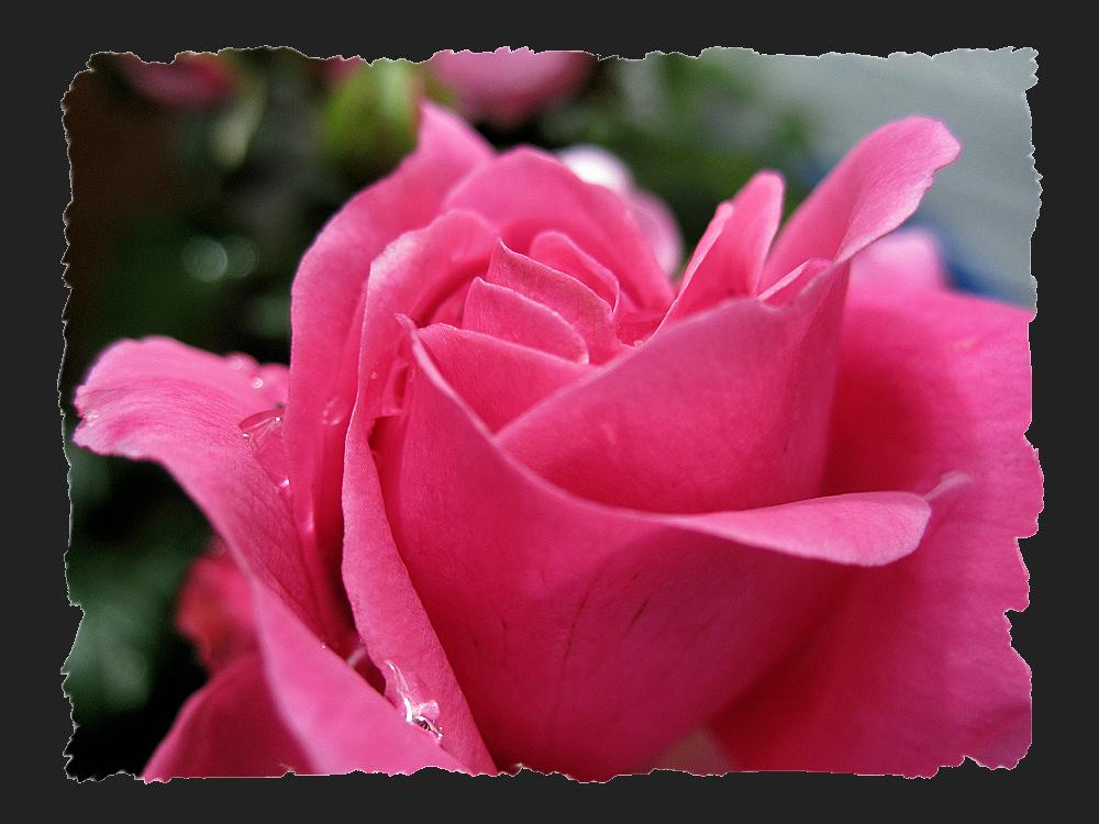 Raindrops in petals of a rose
