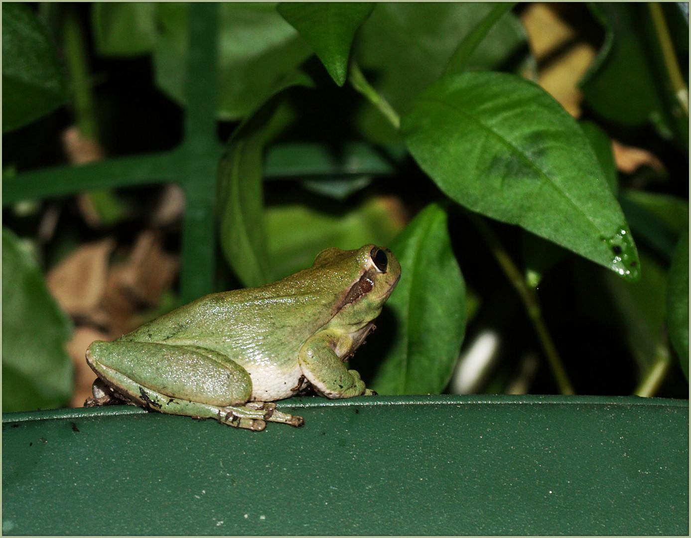Rainette verte dans le jardin  -- Hyla arborea