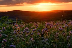 Rainfarn-Phazelie Feld