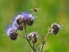 Rainfarn-Phazelie mit Biene im Anflug