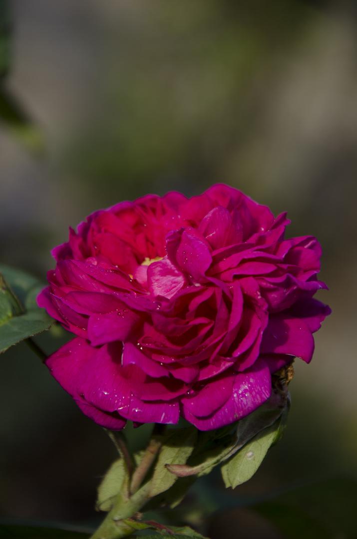 rainshowerd rose