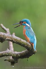 Rainy Day for a Kingfisher