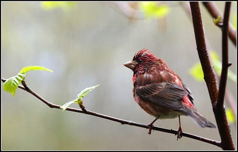 Rainy Day Purple Finch
