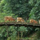 ramat creuant un pont a sapa (vietnam)