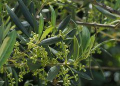 Rameau d'olivier au printemps